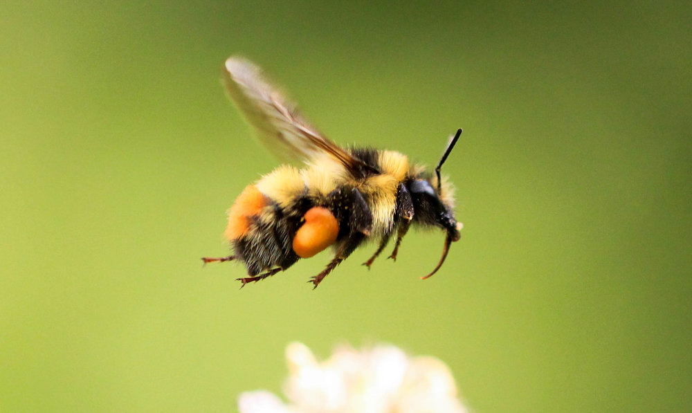 Honey bees are completely different than bumblebees. Although they both collect nectar and pollen, bumblebees are much chubbier and fuzzier.