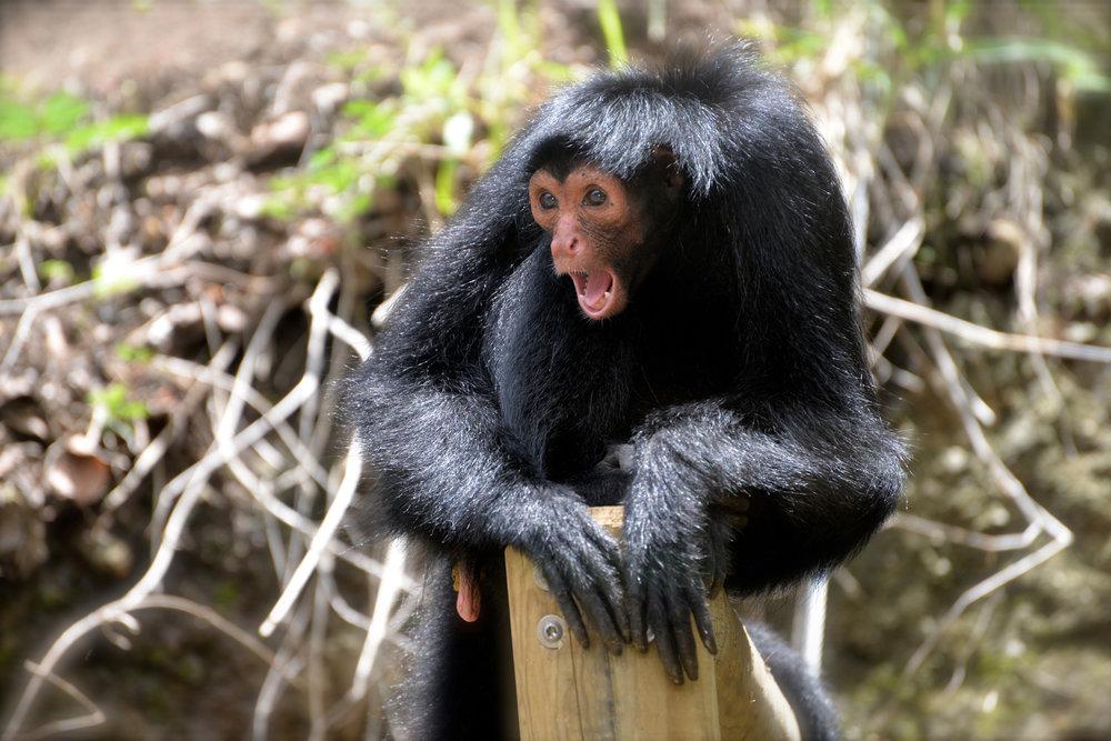 Les singes Atèle