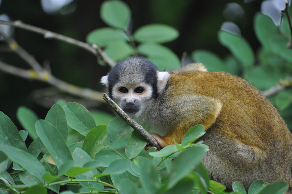 Les singes écureuil Saïmiri