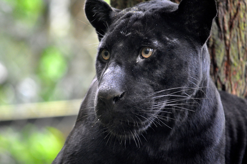 Faya - femelle jaguar noir