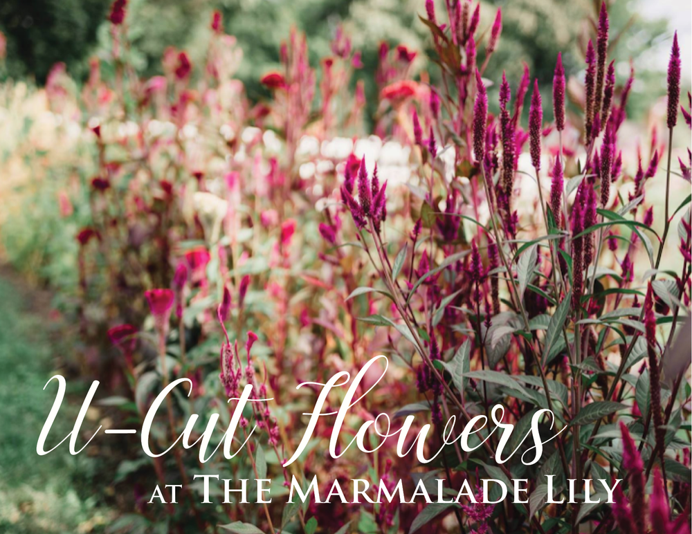 Join us for u-cut flowers in the gardens!   At The Marmalade Lily, we have a weekly selection of seasonal flowers available. You will be greeted with a basket, clippers, and a tour of the fresh blooms available! Bring your favorite vase to arrange your flowers or have your bouquet wrapped to go. Pricing is per stem and typically ranges from $0.50 to $4.00. Parking is complimentary.  Reservations not required, but please email or call ahead for groups larger than 6 (themarmaladelily@ gmail.com/5136046561 ).  Our projected availability is updated weekly on Mondays.  Projected Availability:  Amaranth  Babies Breath  Caryopteris  Celosia  Cosmos  Dahlias  Gomphrena  Hydrangea  Lisianthus  Mountain Mint  Ninebark  Veronica  Zinnia
