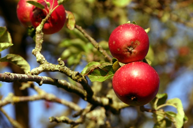 Apples in the Orchard.jpg
