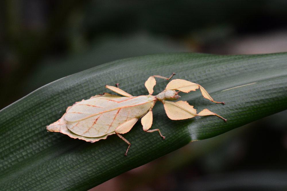 Celebes Leaf Insect (Phyllium Celebicum Female)