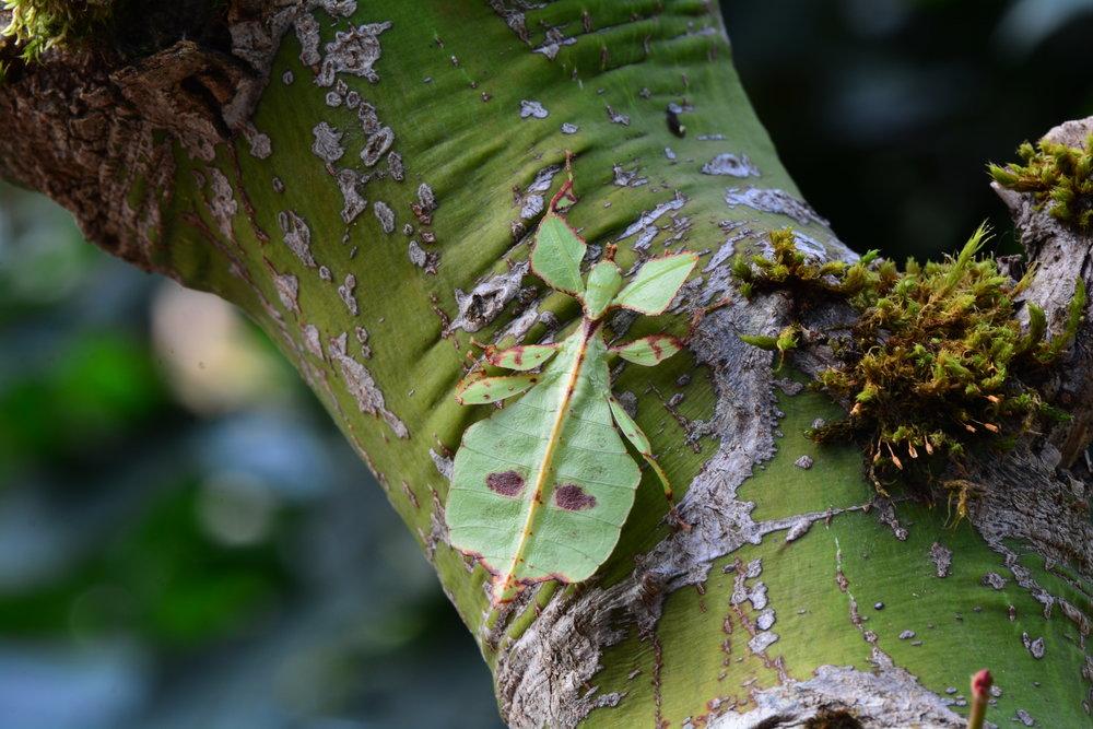 Celebes Leaf Insect (Phyllium celebecium nymph)