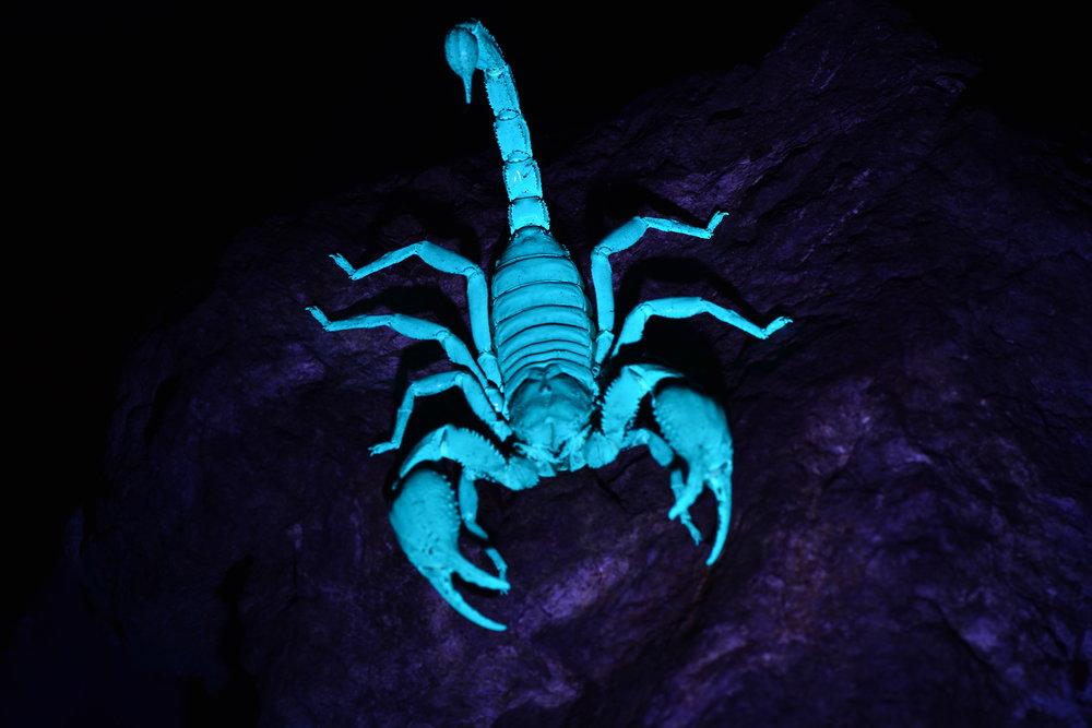 Giant Forest Scorpion (Heterometrus Spinifer)