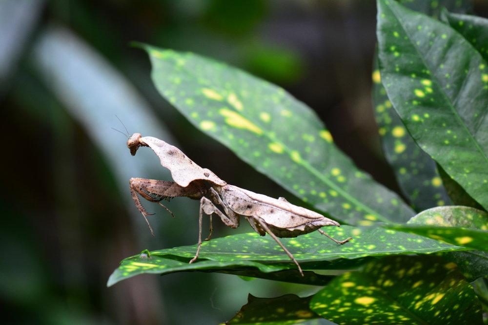 Malaysian Dead-Leaf Mantis (Deroplatys lobata female)