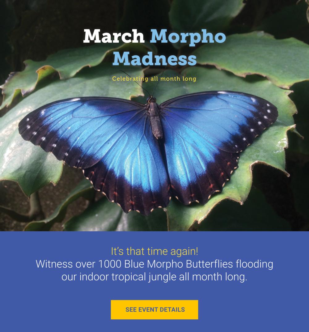 March Morpho Madness, Blue Morpho Butterflies