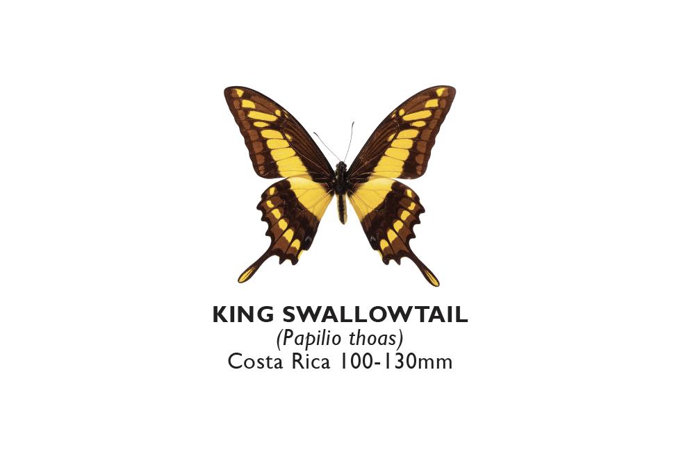 King Swallowtail.png