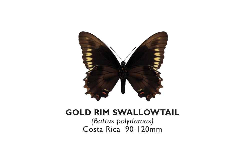 Gold Rim Swallowtail.png