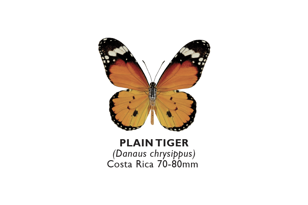 Plain Tiger.png