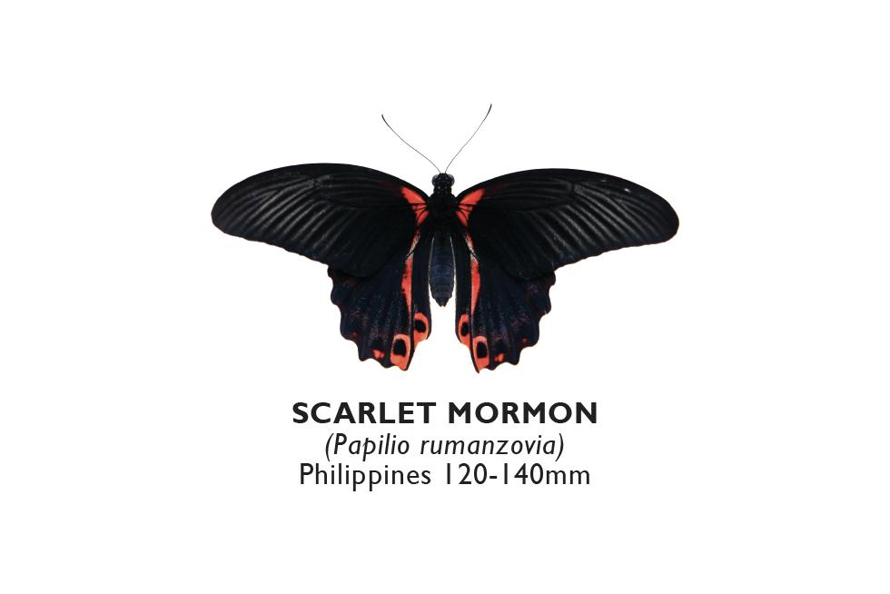Scarlet Mormon.png