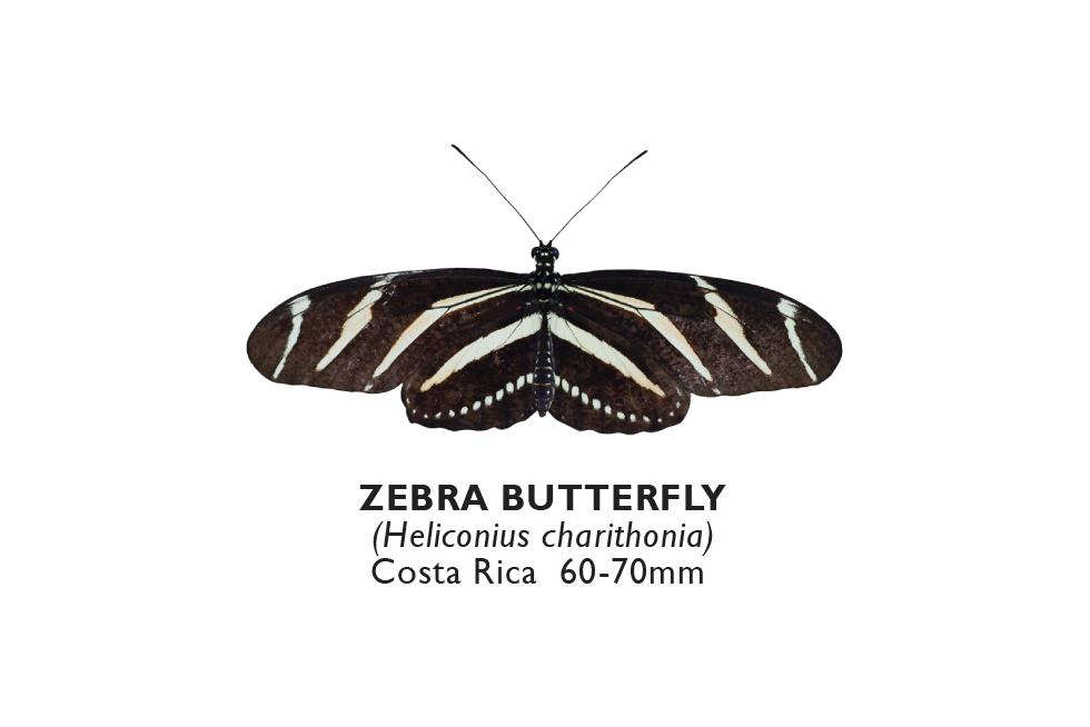 Zebra Butterfly.png