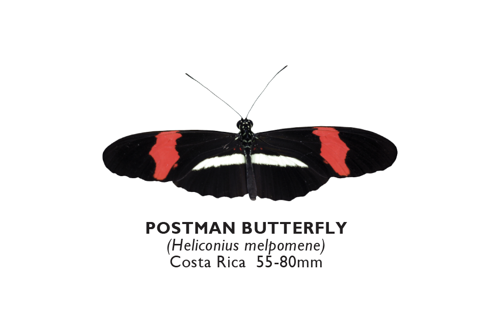 Postman Butterfly.png
