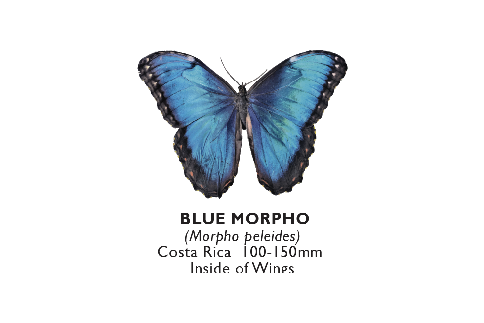 Blue Morpho inside.png