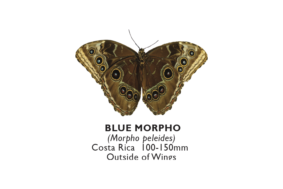 Blue Morpho Outside.png