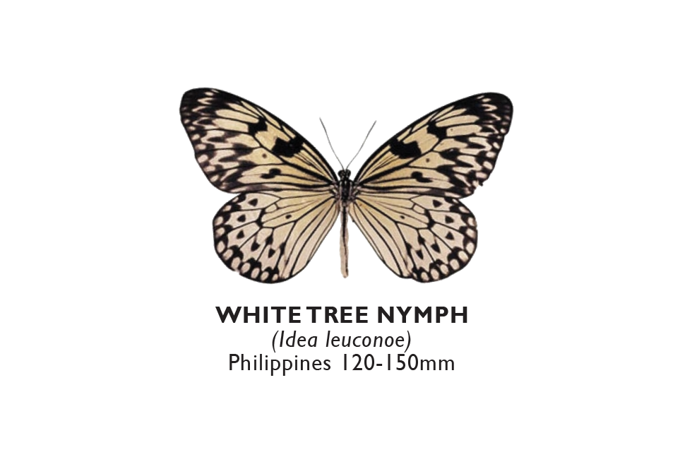 White Tree Nymph.png