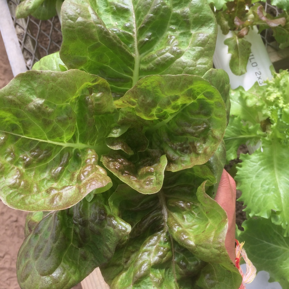 Above Day 19 of 'Buttercrunch' lettuce cultivar on the ZONE A Crop King 'Leafy Green'