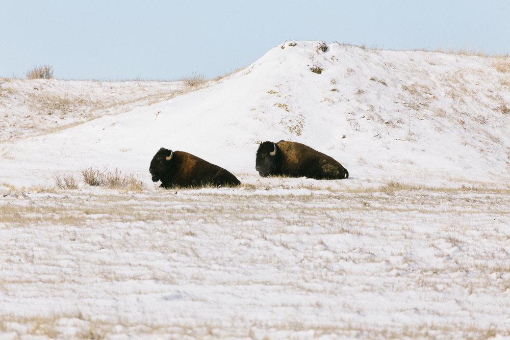 Two Buffalo looking West