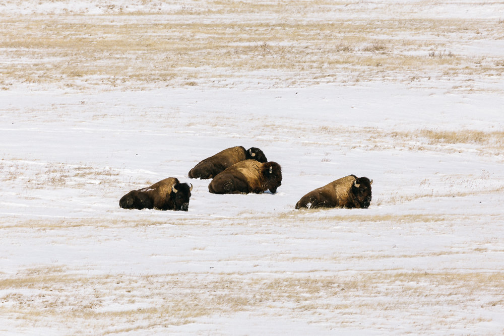 Four Buffalo looking East