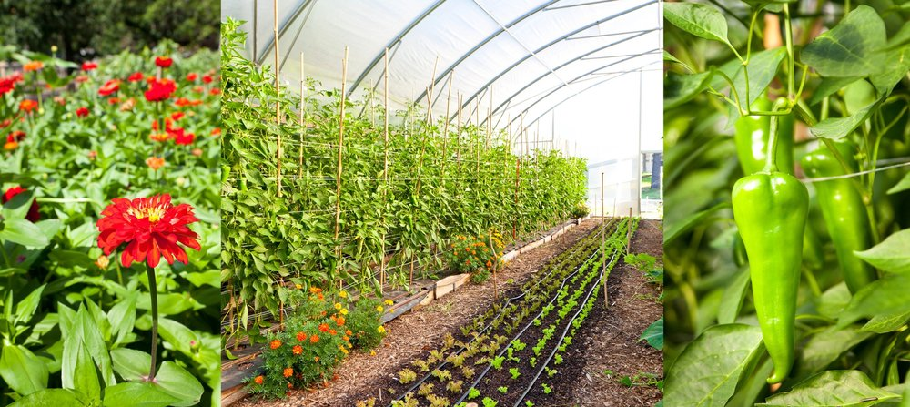(Left to right) The farm is carefully organized, allowing space for the simple beauty of cut flowers along with peppers, lettuce and other crops.