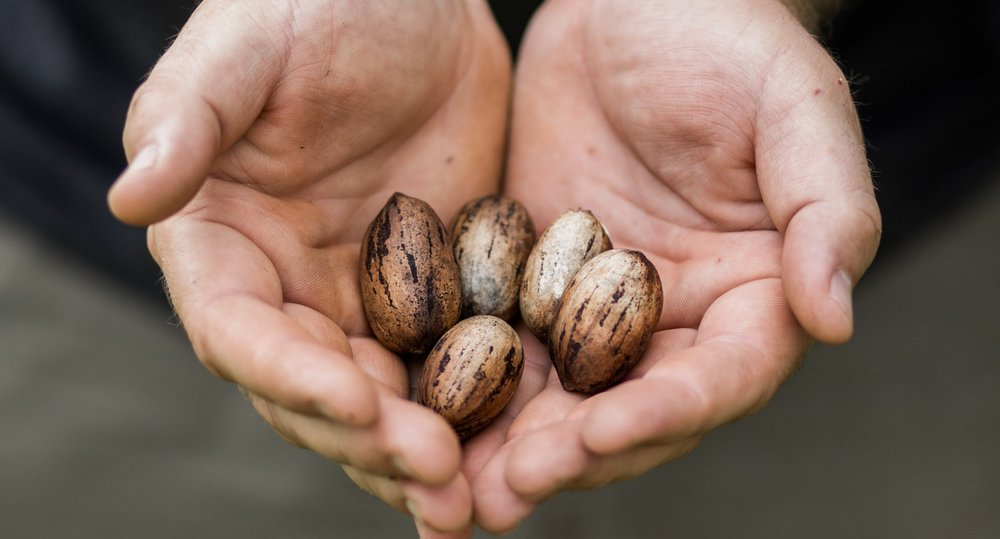 Michael holds beautiful uncracked pecans.