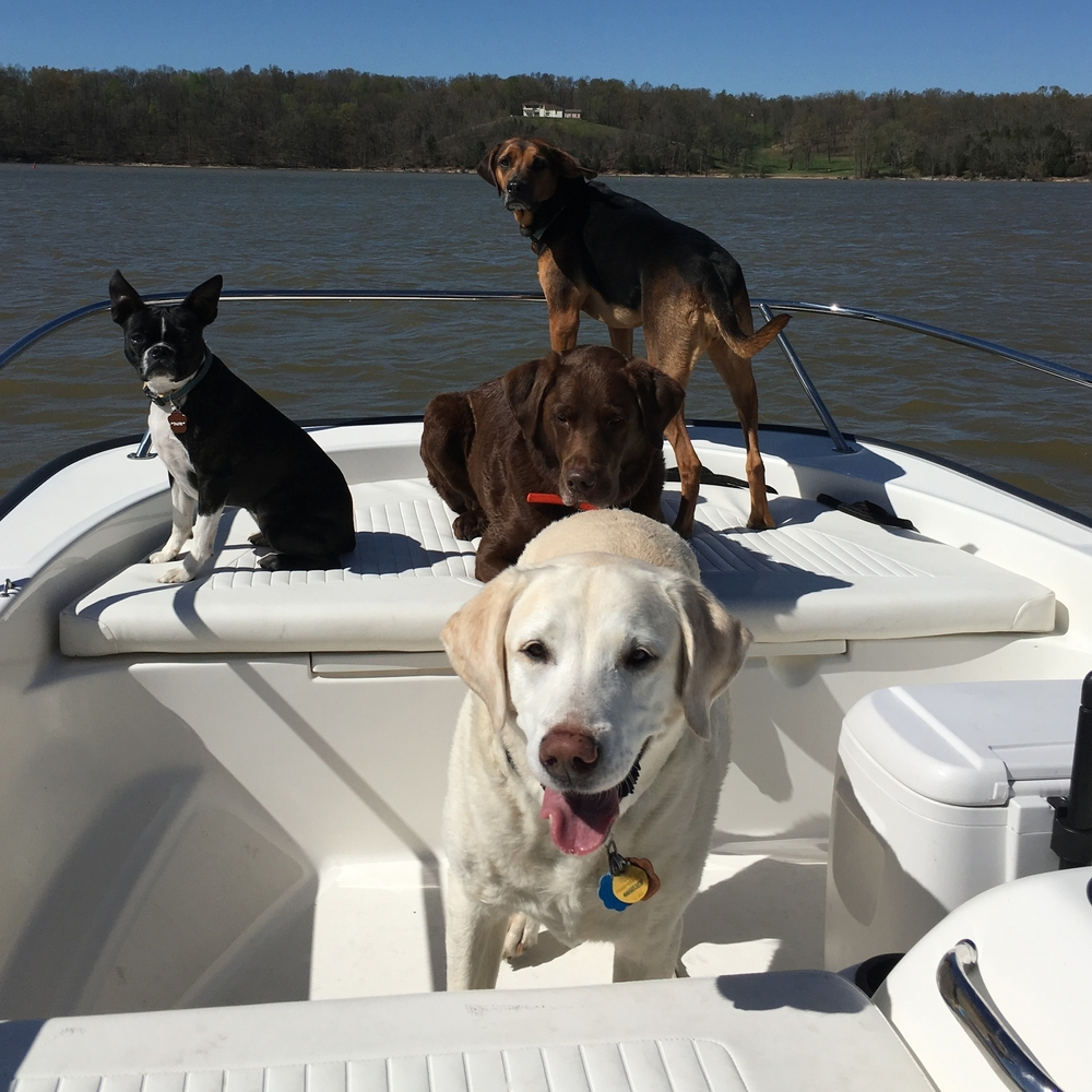 Sometimes dogs prefer to be on the water instead of in the water. Here's Bailey (White Lab), Sandy (Boston Terrier), Summer (Coonhound), and Diesel (Brown Chesapeake Lab).
