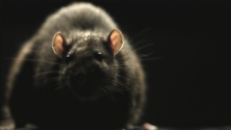 RATS - Colorado Premiere