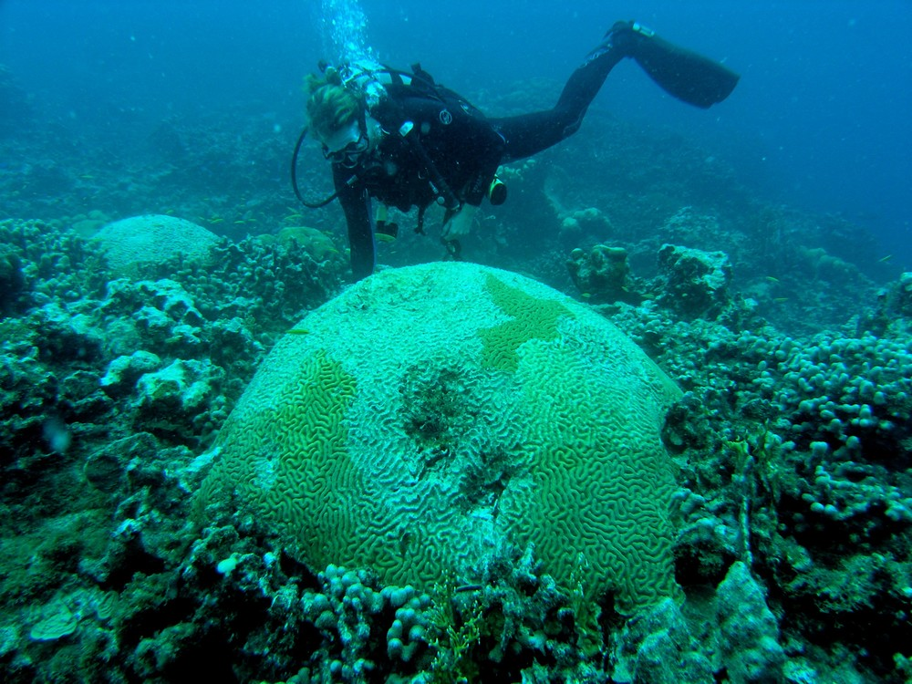 Dr. Marilyn Brandt examines a brain coral Colpophyllia natans that has been affected by bleaching and disease on a coral reef site in St. Thomas, U.S. Virgin Islands. Dr. Brandt's work aims to identify the important factors that influence the spread and impact of disease on Caribbean coral reefs.