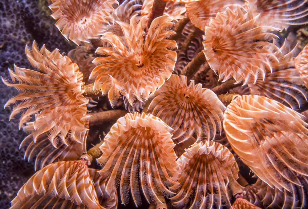 The Feather-duster worm uses its tentacles for eating and breathing by extending them open in the water. They are quickly retracted at any sign of danger.