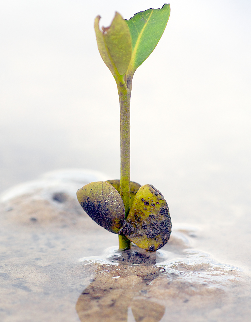 A mangrove seedling takes root. Mangroves play a critical role in their job as liaison between land and sea by protecting shorelines from storms and offering shelter to juvenile fishes.