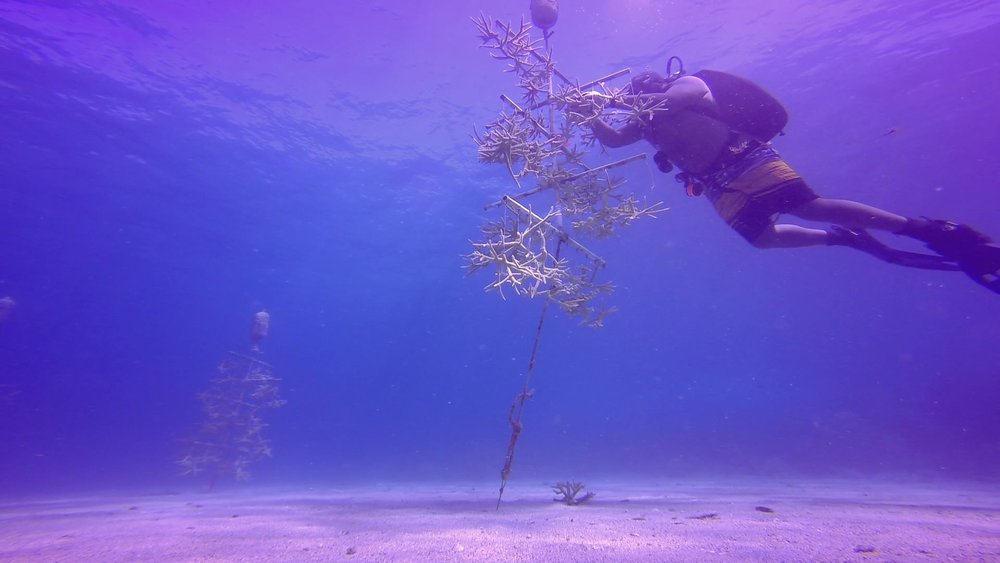 "UVI Marine Science graduate student Colin Howe monitors coral ""trees"". These coral fragments will be transplanted to form new reef systems."