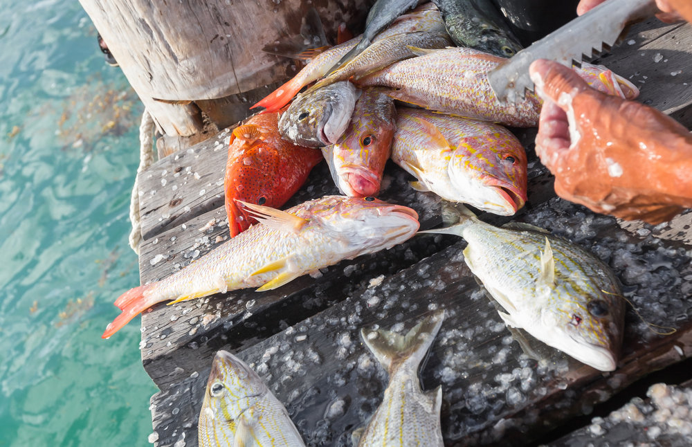 Fresh-caught pot fish are cleaned dockside.