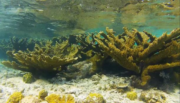 Elkhorn coral reef