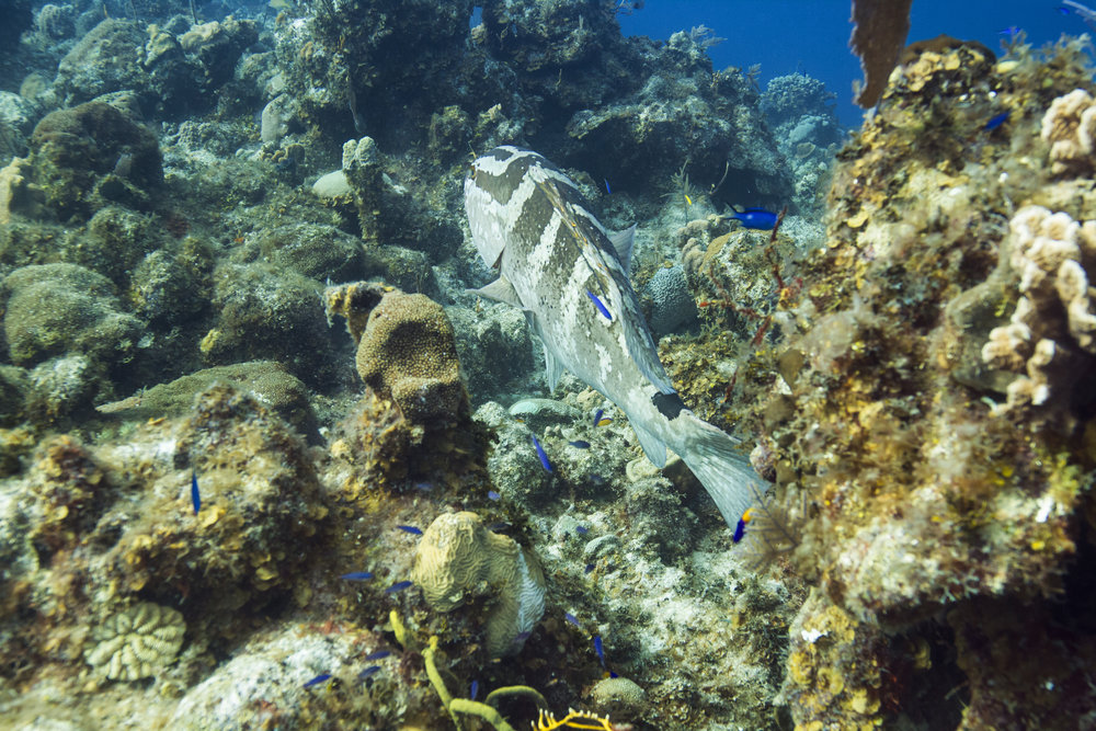 There are so many species of grouper, how can you tell the difference? The Nassau can change color at will depending on their mood, transitioning from their normal state with caramel-colored bars to a two-toned complexion, to milky white. The black spot on the tail, seen clearly in the photo above, and spots around the eyes, are enduring Nassau markings that can make you confident in your identification.