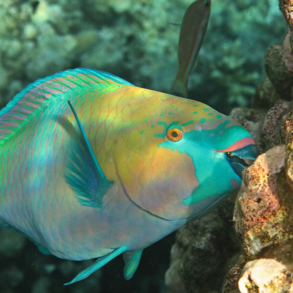 Species like the Queen Parrotfish seen here, and the Stoplight Parrotfish can still be found in USVI waters, although to a much lesser extent than before. However, it is the loss of the larger species that has caused alarm. Notice the beak-like teeth used to scrap the reef clean.