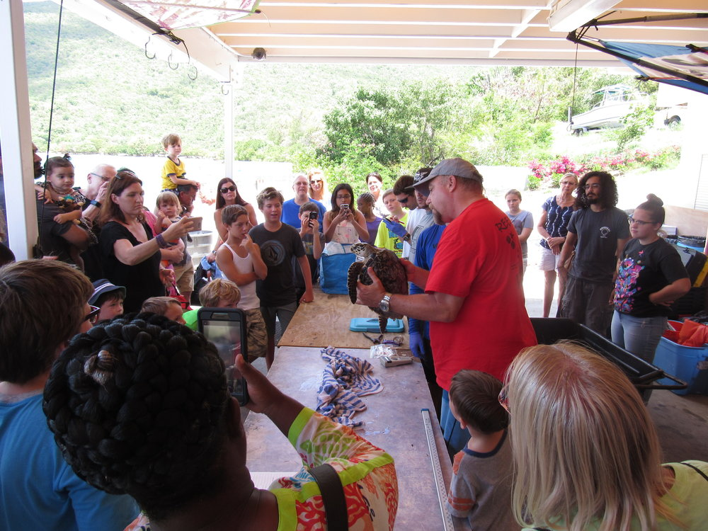 Dr. Jobsis presents a juvenile Hawksbill sea turtle,  Eretmochelys imbricata, to a captivated group. All work is conducted pursuant to a National Marine Fisheries Service permit.