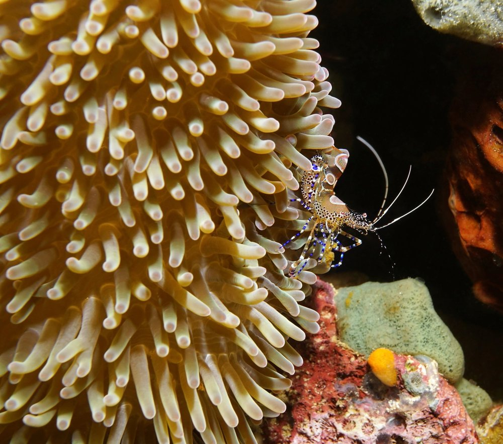A cleaner shrimp and sea anemone