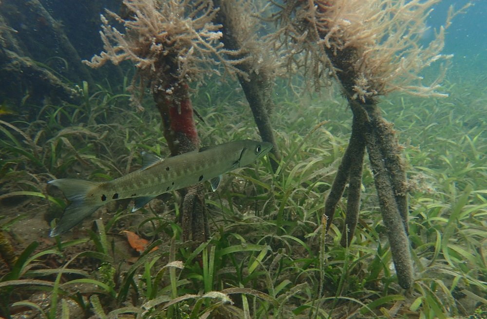 Juvenile fishes like this little barracuda, hide inshore on seagrass beds until they have matured enough to venture into deeper waters.