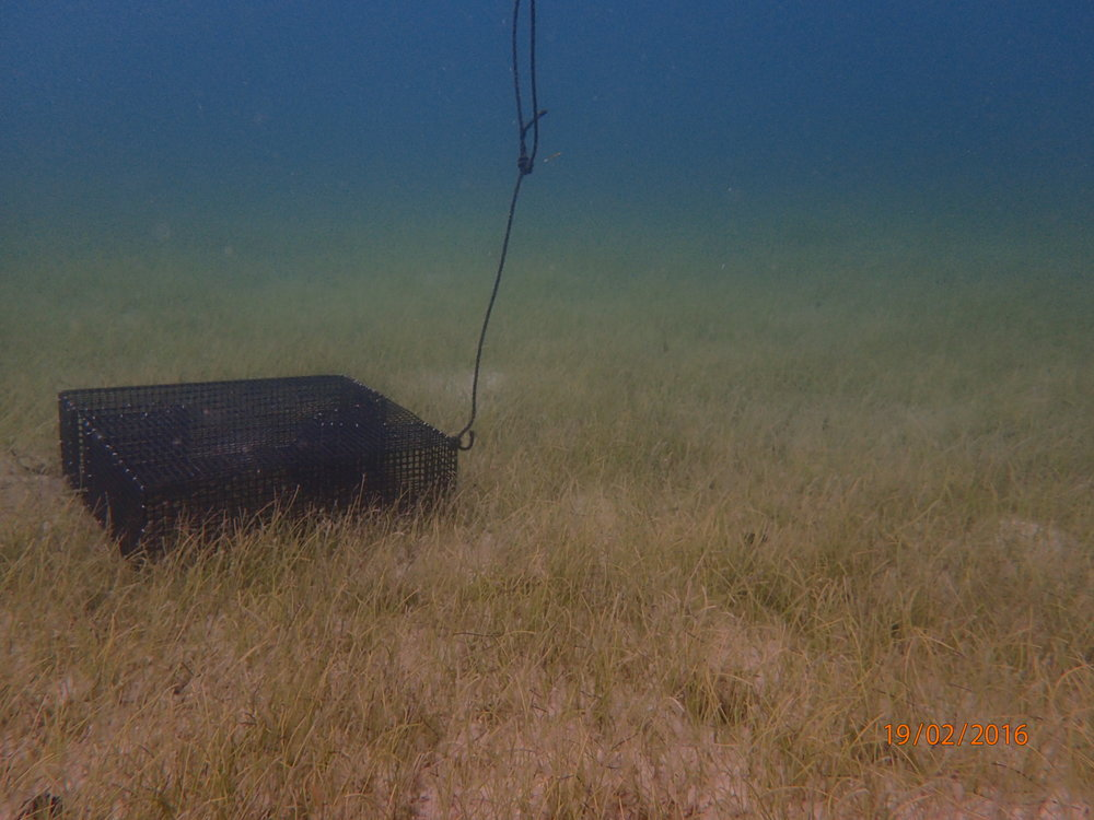 Un-baited traps were deployed  in various seagrass beds in Frenchman, Lindbergh, Brewers and Sprat Bays. Catches were compared for diversity and abundance.