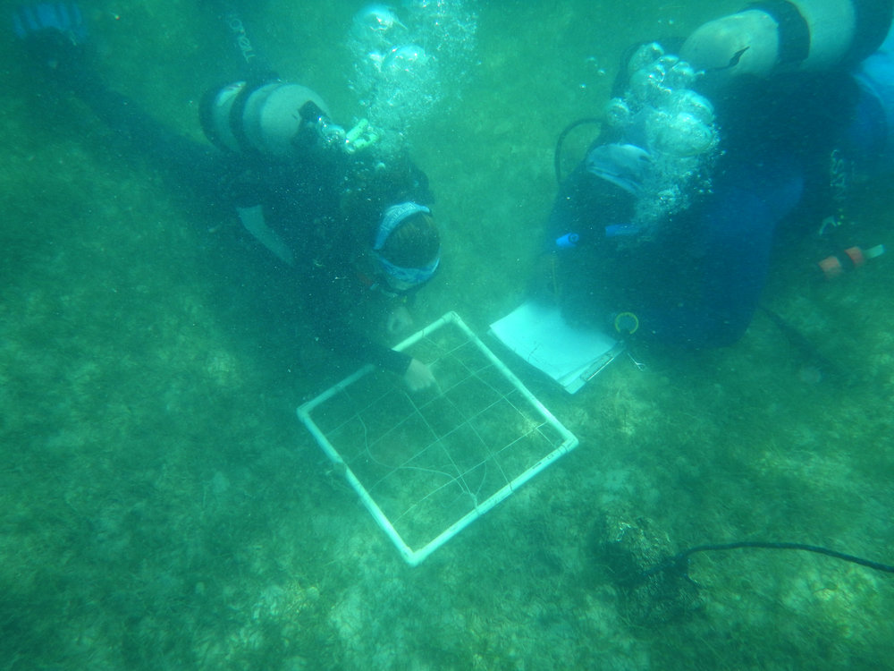 Once a sample site is identified and its size, depth, distance from shore and distance from other seagrass patches is noted, five quadrants are placed randomly.