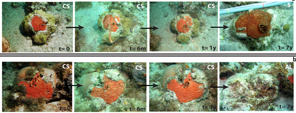 The succession seen here shows how a coral colony can be overpowered by a growth of  Cliona delitrix  sponge (top picture). We can also see when both coral and sponge die resulting in the colony being covered by algae. Photos provided by Sven Zea and Andia Chaves-Fonnegra