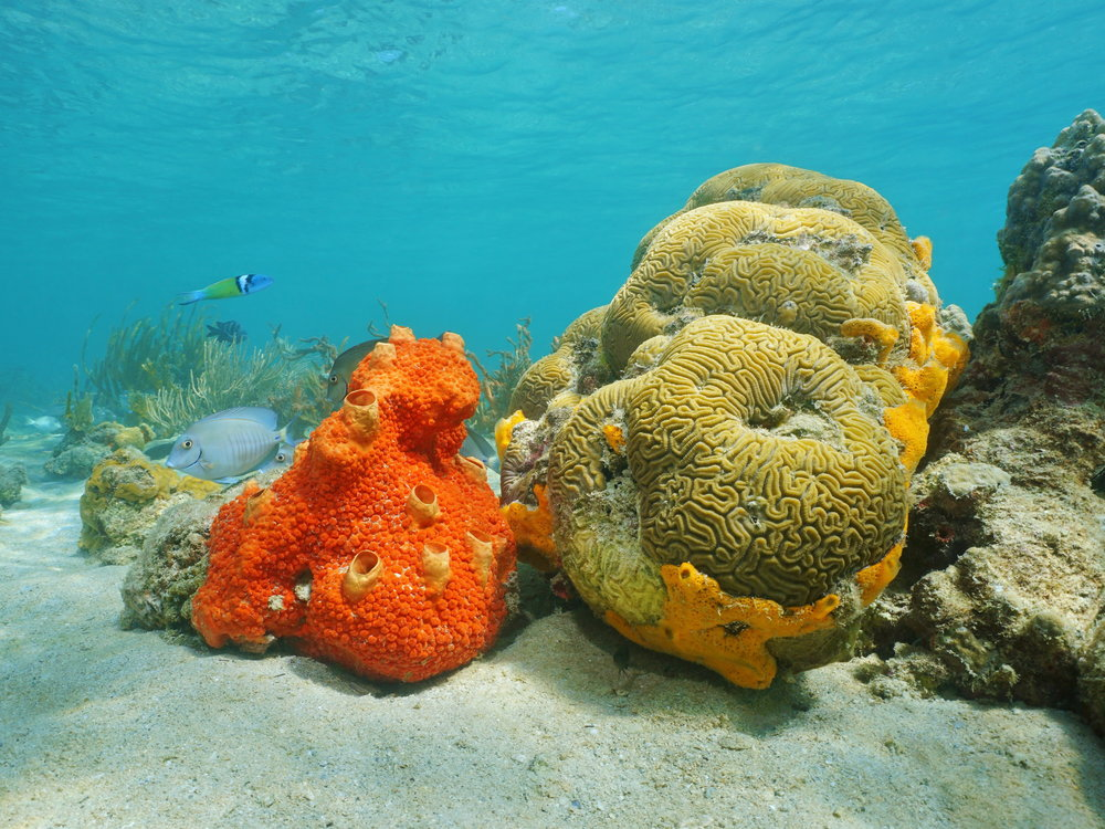 Cliona delitrix , seen above, is a bright orange sponge which uses enzymes to dissolve the coral skeleton it lives on and burrows into it. Until now, little research has been done to examine the growth and effects of this sponge after coral bleaching events.