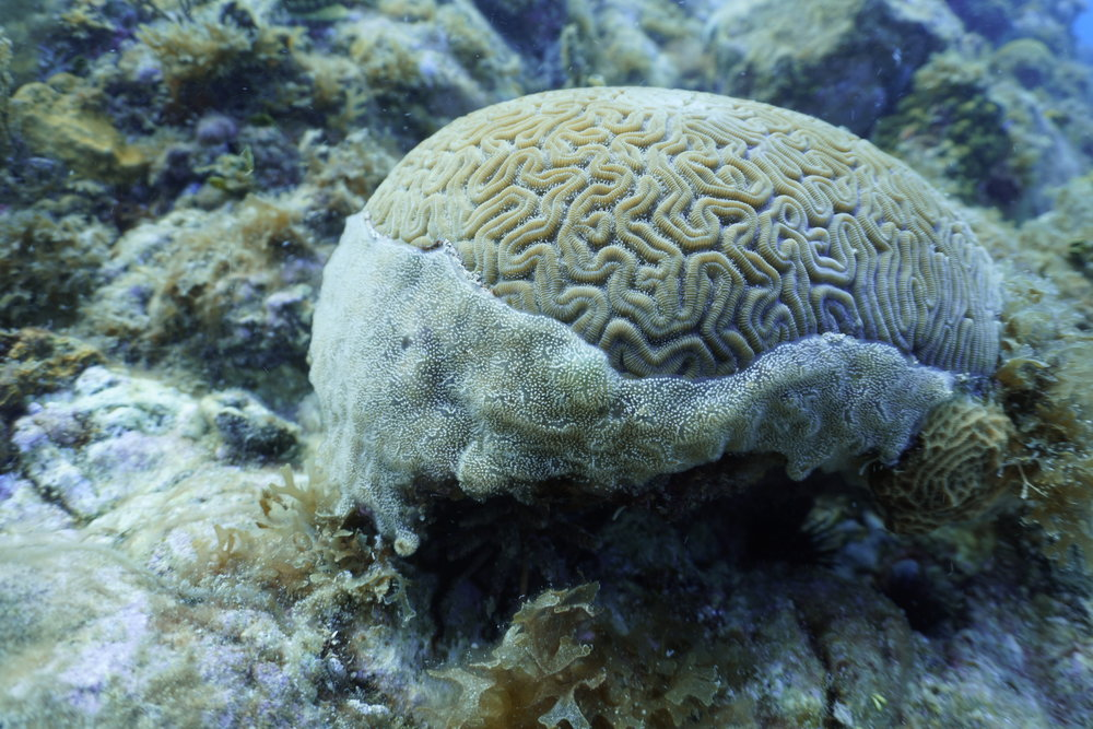 A brain coral being overgrown by an aggressive ascidian (sea squirt) on a St. Thomas reef. Many corals were damaged or weakened by the hurricanes, threatening their ability to resist competitors on the reef. Researchers will document the outcomes of these competitions over the next year in order to identify what is driving coral reef recovery.