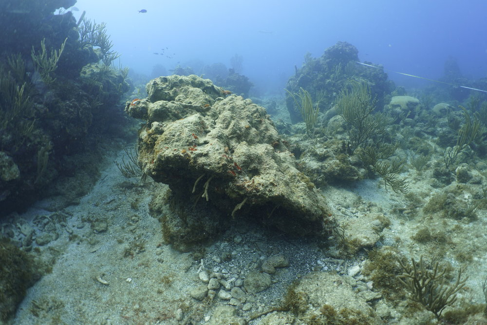 Researchers documented many types of damage to St. Thomas reefs including toppled corals and changes in the actual structure of the reef. In this photo, a large section of the reef broke off and was flipped over by the storms. Sea rods and sea whips that typically grow upwards can be seen on the bottom.