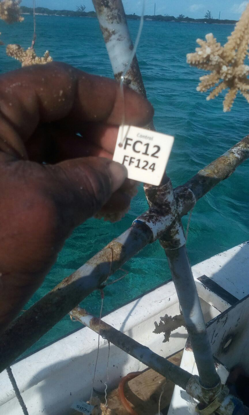 A fisherman in the Bahamas found a coral tree from St. Thomas that was swept away during Hurricanes Irma or Maria