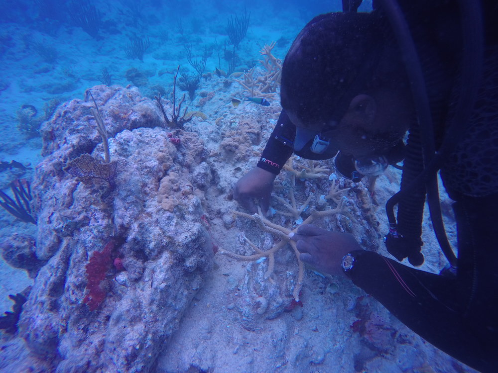 Colin Howe outplants coral branches from one of the St. Thomas nurseries.