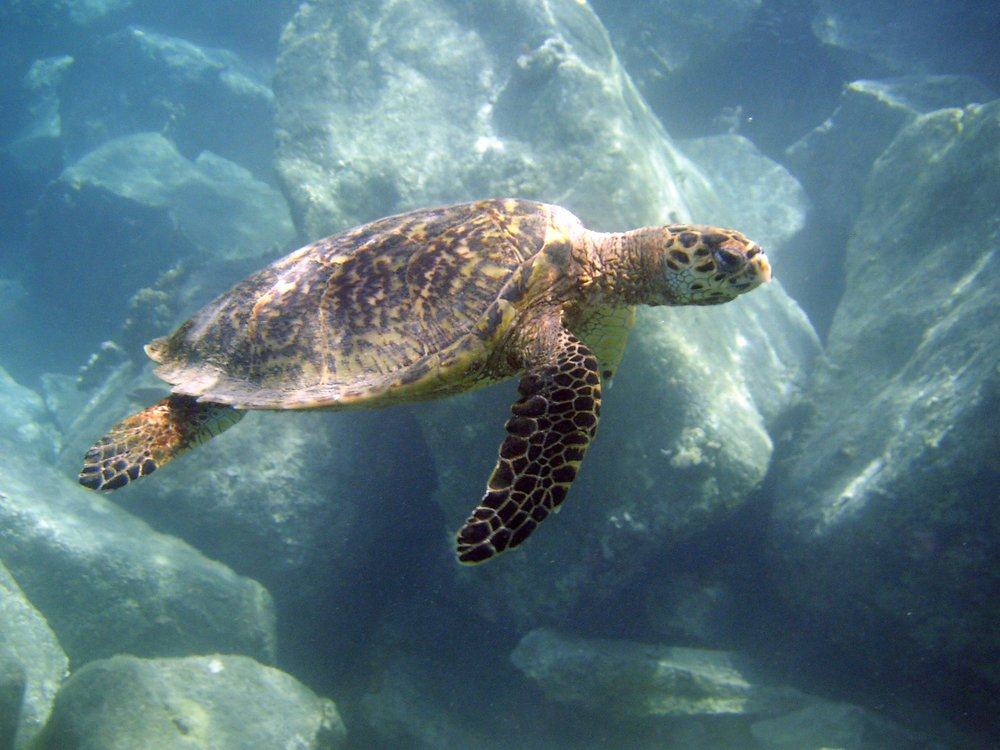 A hawksbill sea turtle swims along the Cyril E. King Airport runway. They seem to be taken with with many crevices and hiding places the pilings create.