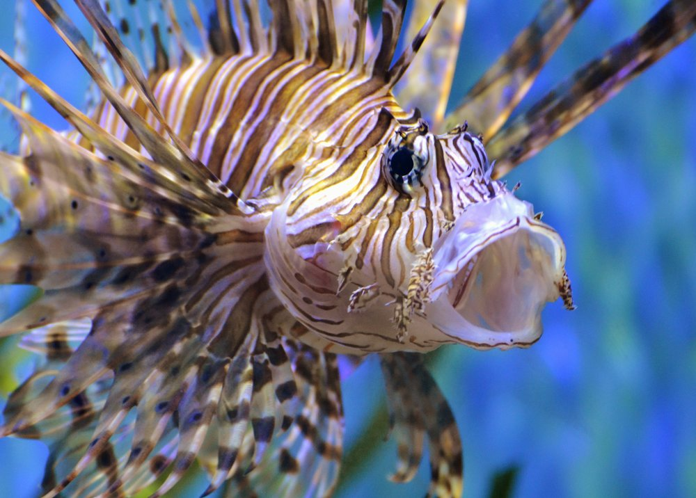 "Although there has been concern regarding the presence of ciguatera toxin in lionfish, a 2015 publication in  The Environmental Biology of Fishes  by Christie L. Wilcox and Mark A. Hixon states that ""...there have been no confirmed cases of ciguatoxin poisoning from eating lionfish, indicating that false positive tests may be occurring.""  Wilcox, C.L. & Hixon, M.A. Environ Biol Fish (2015) 98: 961. https://doi.org/10.1007/s10641-014-0313-0"