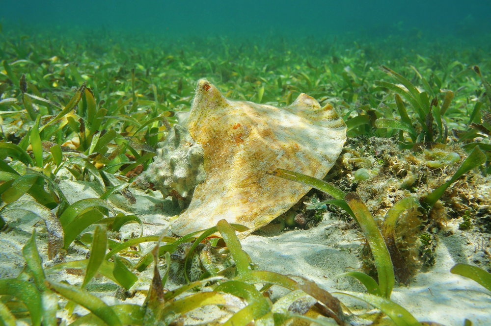 Queen conch, sea urchins and juvenile fishes rely on sea grass bed for survival.