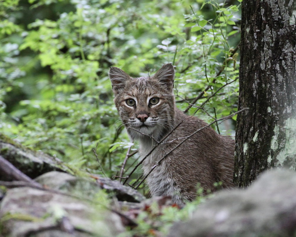 The bobcat   is the size of a large house cat.   Photo by Jim Thomson.